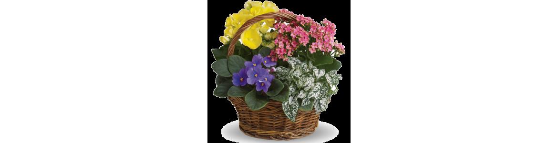 Biljke - Lončanice